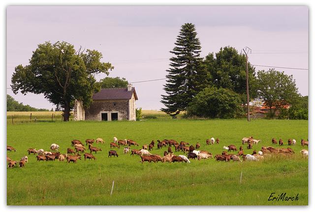 Troupeau de chèvres dans le Poitou