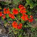Tropaeolum majus, Brassicales