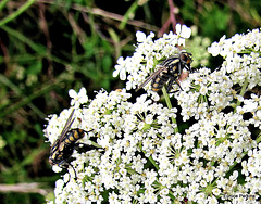 Flies On Wild Carrot.