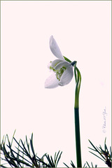 Double Snowdrop: Galanthus nivalis 'Flore Pleno'...