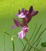 orchidea farfalla