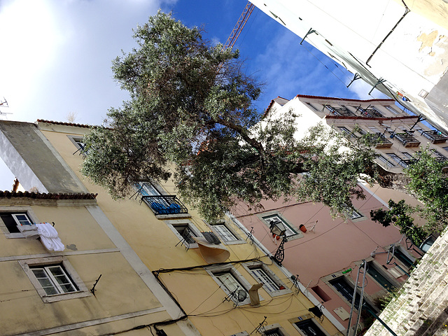 The olive tree, the sacred tree of the Mediterranean