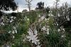Asphodelus ramosus, Abrótea-de-primavera, gamão