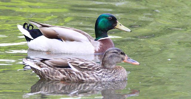 DuckEF7A0598