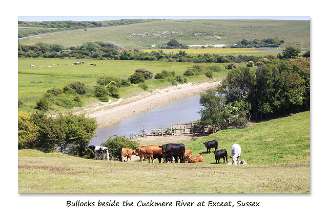 Bullocks beside the Cuckmere River at Exceat - 11.6.2015