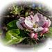 Berlepsch Apfelblüten