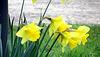 Daffodils Heralding Spring.