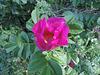 150/365 - Wildrosen / Rosa