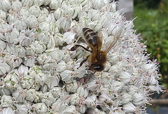 Honey Bee on Leek flower head.