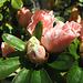 """Rhododendron obtusum """"Amoenum"""" (Explored)"""