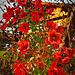 Rote Rosen im Winter