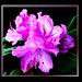 Rhododendron-2... ©UdoSm