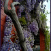 Wisteria on a dull day