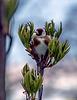 Baum vorm Fenster: Nachtlager für einen Distelfink (PiP)