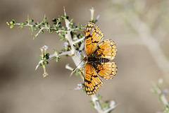 Sagebrush Checkerspot for Pam