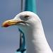 EOS 90D Peter Harriman 14 53 57 32753 herringGull dpp