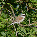 Pie-grièche écorcheur (Lanius collurio)  (Red-backed Shrike)