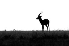 Grant's gazelle (Explored)
