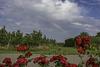 """(192/365) Obstplantagen, rote Rosen und ein Regenbogen über dem """"Alten Land"""""""