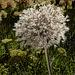 Silver-Hair-Allium