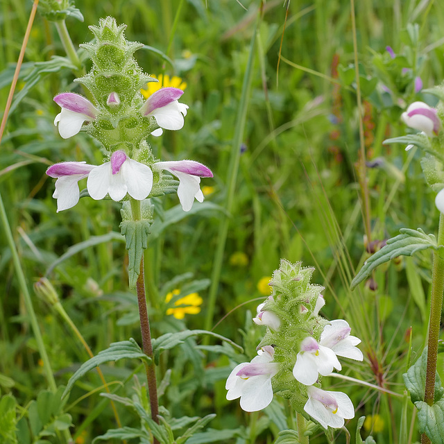 Bartsia trixago, Lamiales, Orobanchaceae