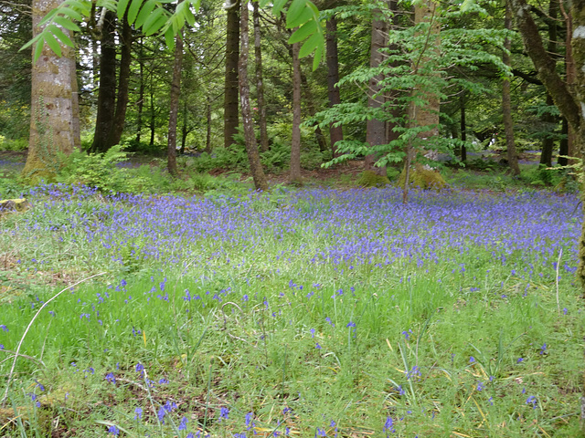 Bluebells of Scotland.  On the grounds of Inveraray Castle.