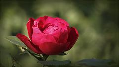 C'est la St Rose