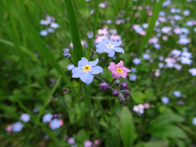 Beautiful patch of delicate, little wildflowers, blooming above the River Shin near Inveran, Scotland