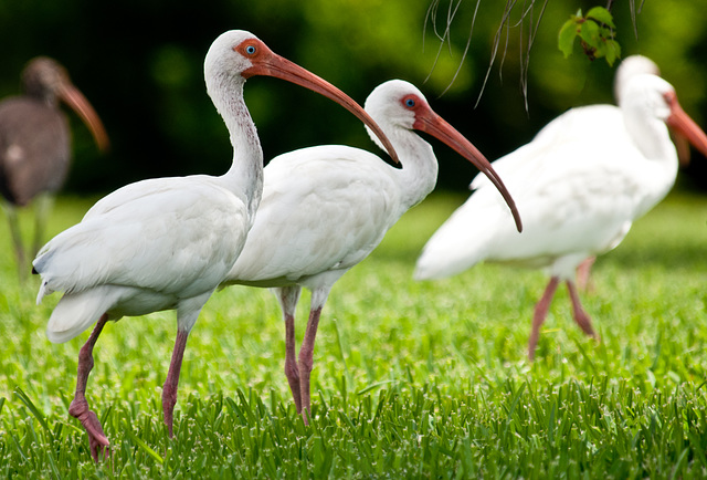 White Ibises Foraging for Insects