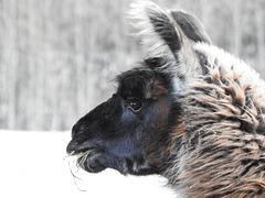 Llama in winter