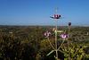 Phlomis purpurea, Lamiales, Junqueira, Algarve