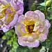 """Charlotte Brownell"" Tea Rose – Botanical Garden, Montréal, Québec"