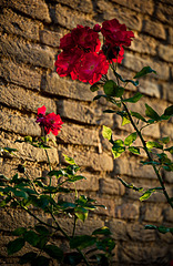 Rose 50 + 32 / Ne Bi fe (i love you)