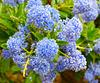 Bleues...Ceanothé arbustif rampant