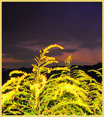 Solidago Canadensis(gulden roede)