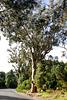 Kiefer-, Pinien-, Lorbeer- und Stammerikawald (Baumheide) wird zu Eukalyptuswald. ©UdoSm
