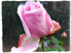 Rose de Décembre ! encore très belle !