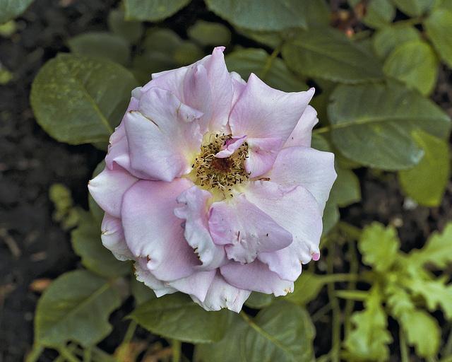 """""""Fernand Gignac"""" Tea Rose – Botanical Garden, Montréal, Québec"""