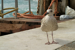 Venetian Gull