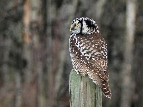 Northern Hawk Owl with woodland bokeh