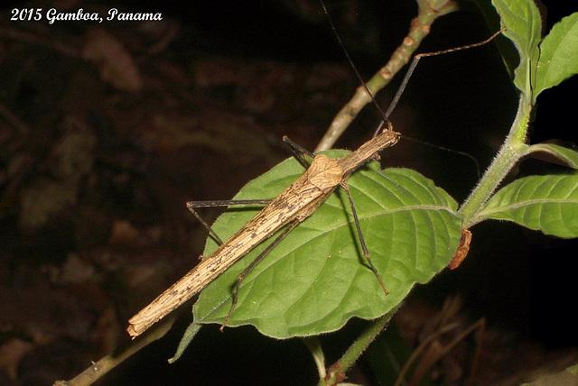 Pseudophasma sps. Female