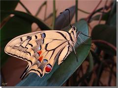 Papilio machaon venant d'éclore.