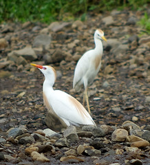 Cattle Egret - Héron Garde-boeuf