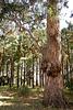 Mächtige Eukalyptusbäume. ©UdoSm