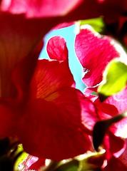 Sky through petals