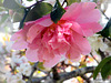 One Pink Camellia