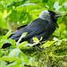 Hooded crow (2)