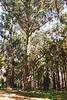 Im Eukalyptuswald auf den Kanaren - wie geht das?  ©UdoSm