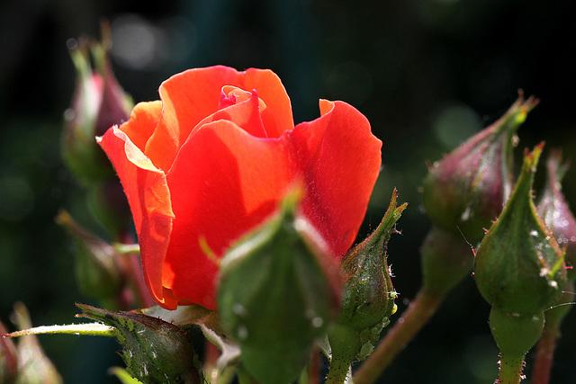 Rose in meinem kleinen Garten (Pic in Pic)