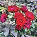 """Floribunda Rose """"Europeana"""" – Botanical Garden, Montréal, Québec"""